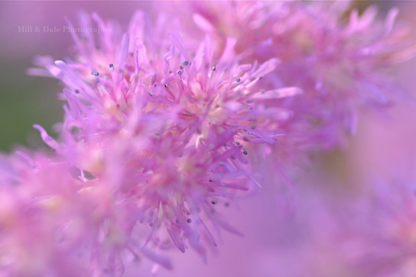"""Astilbe Abstract"""